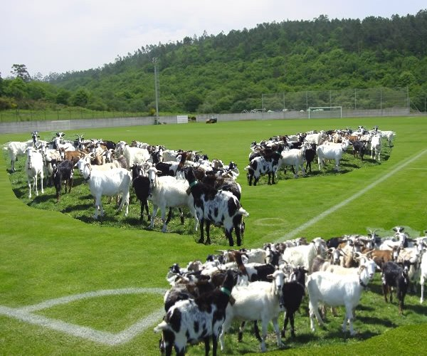 Some goats eating the grass of the football fields
