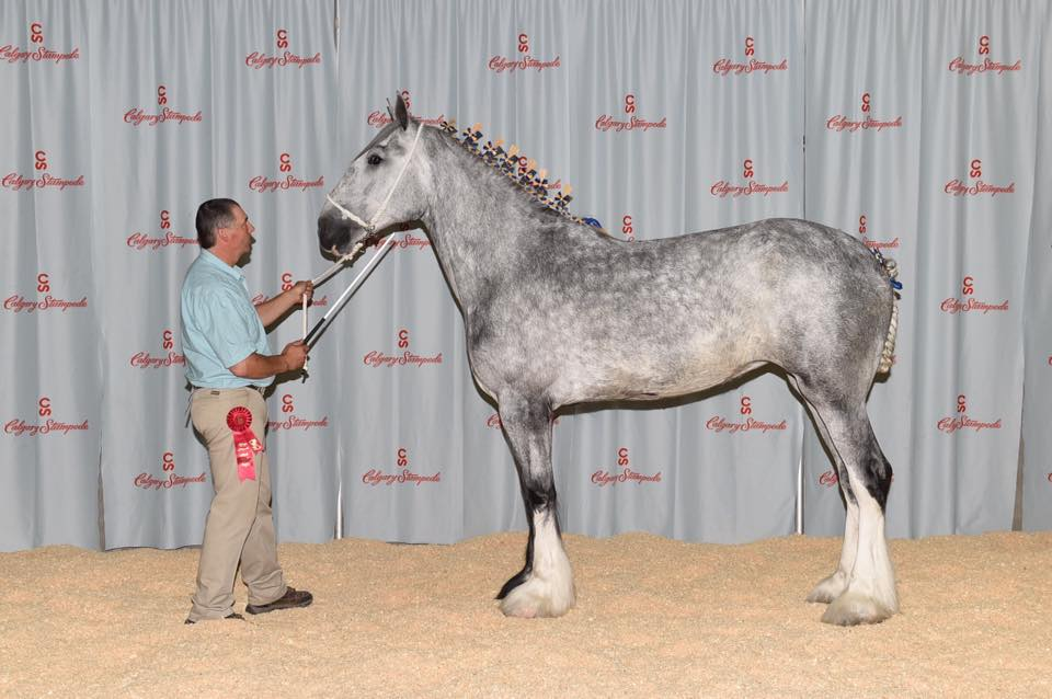 Supreme Champion Shire - 2016 Canadian National Shire Show, Calgary Stampede