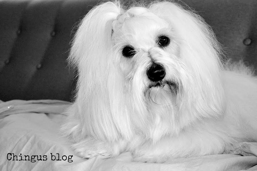 Min hund Chingu ♥