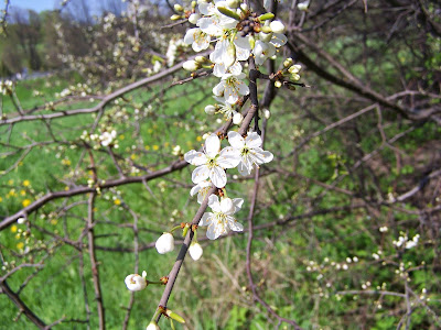 Blackthorn (Prunus Spinosa) Overview, Health Benefits, Side effects