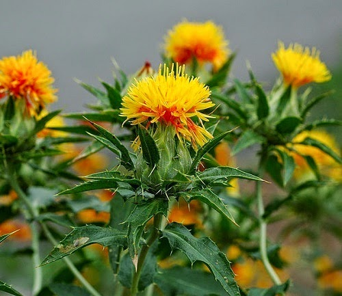 NUTRIFERON SHAKLEE bunga safflower