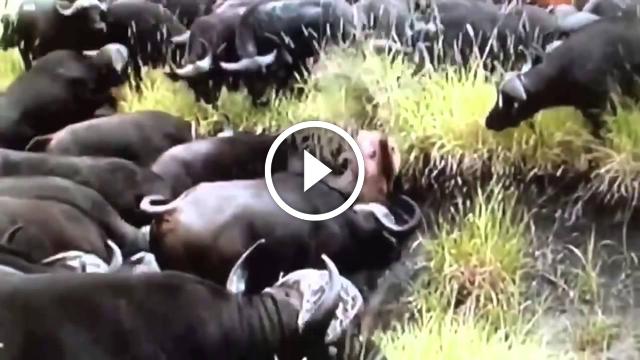 Bufalo Sürüsünün İçine Düşen Aslanı Paramparça Ediyorlar