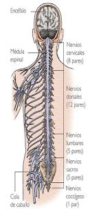 Nervios raquídeos