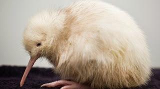 Kiwi blanco, asombrosa criatura
