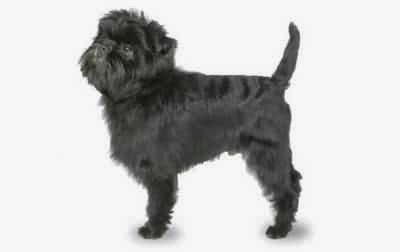 Pictures Dog Affenpinscher