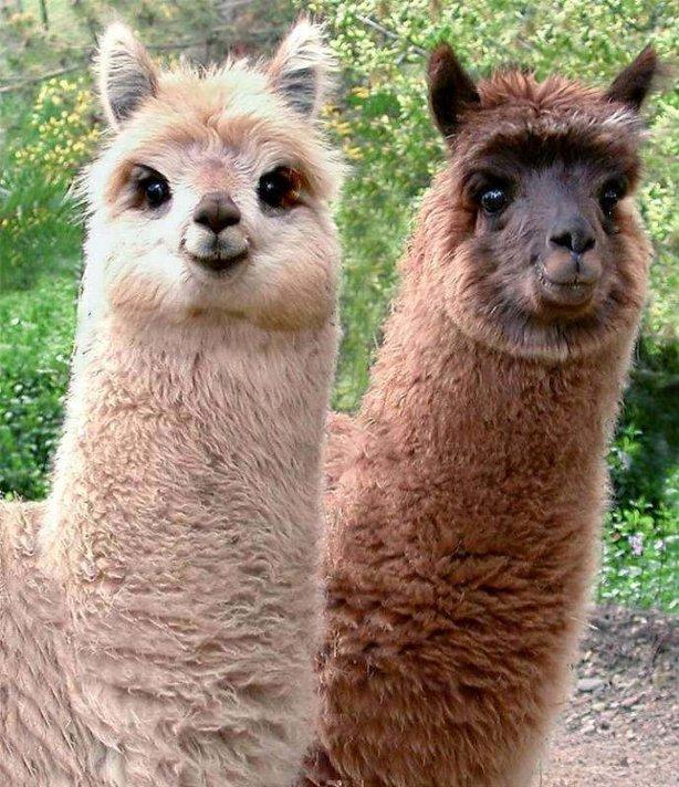 Funny Cute Llama | Funny Animals