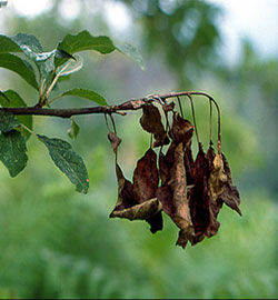 Arte y jardiner a enfermedades de los frutales for Arboles que no se le caen las hojas en invierno