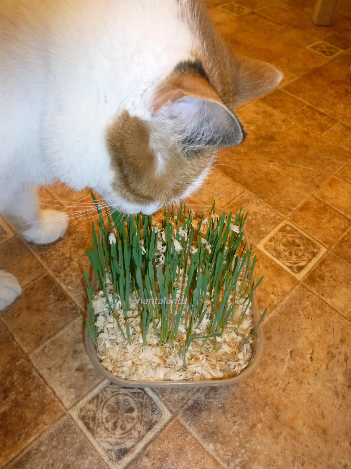 Какую траву сажают для кошек 54
