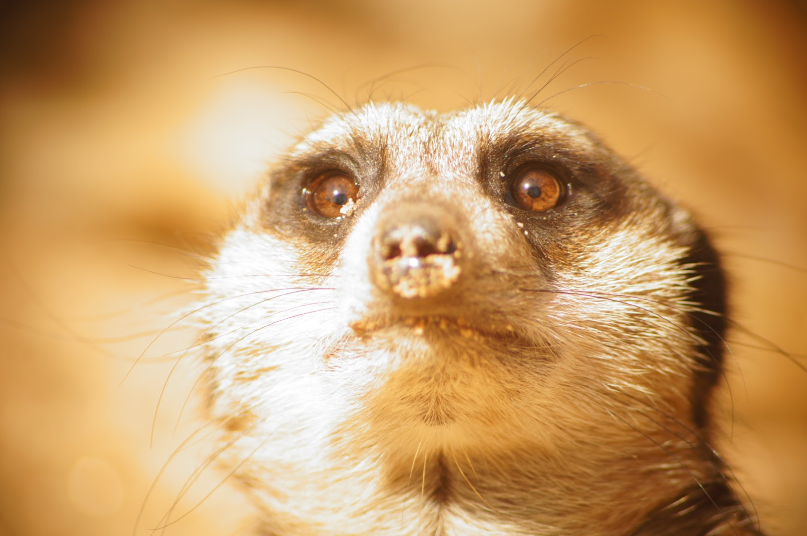 copyright-free picture of a meerkat