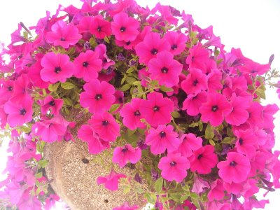 Disfrutaras mirandolas flor de verano - Flores de verano ...