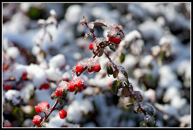 Nova Scotia; Garden; Berries