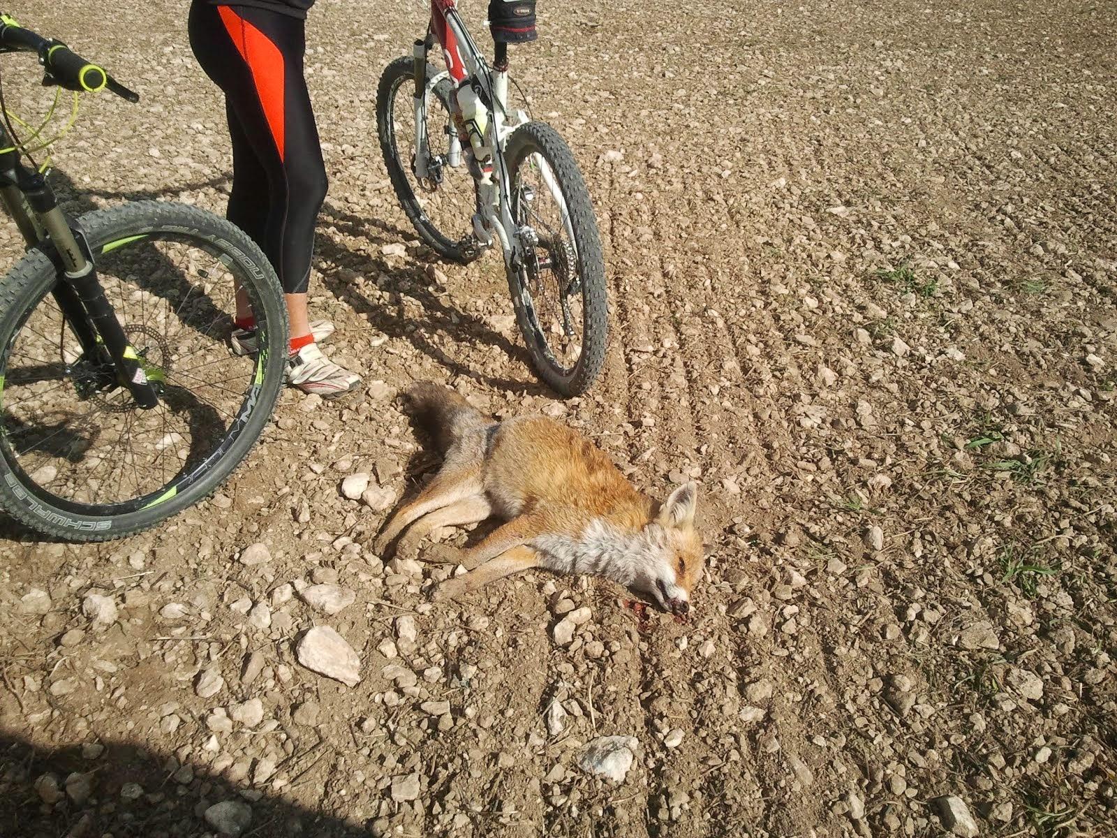Zorra abatida por un cazador hoy mismo. 02.11.2014