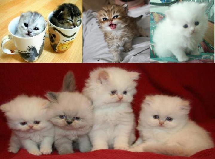 Pin Tea Cup Persian Kitten on Pinterest