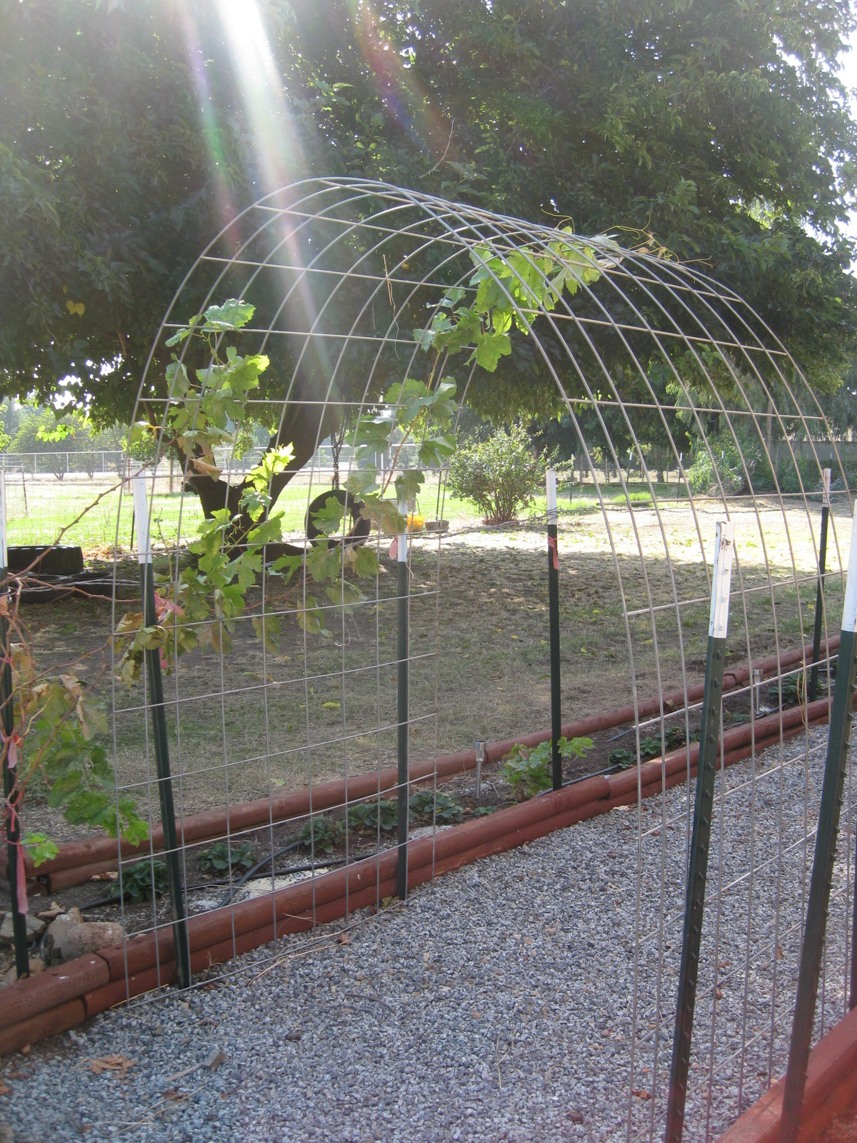 What if IT is today? - A Survivalist\'s Blog: The easy grape arbor