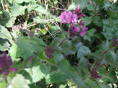 Lunaria bienni