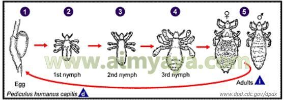 Gambar: Siklus hidup kutu rambut/kepala