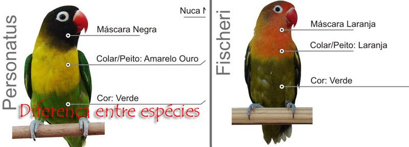 Diferença Agapornis Personatus X Fischeri