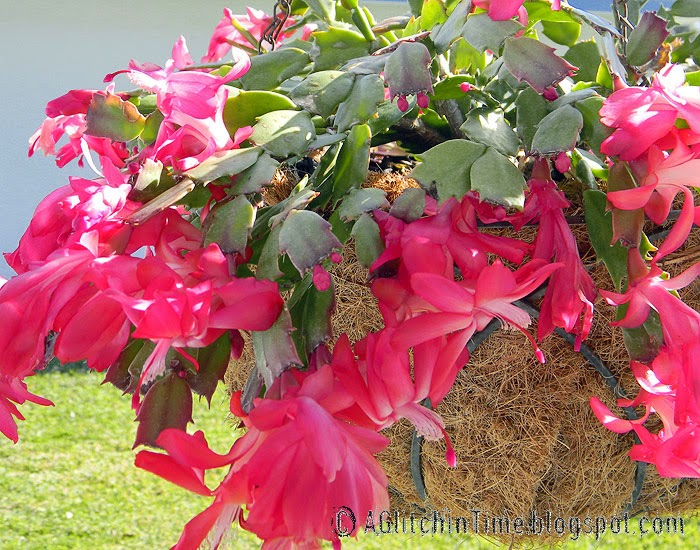 Pink Christmas Cactus in a hanging basket
