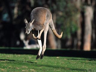 canguro animale marsupiale