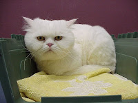 White Persian cat with trimmed coat