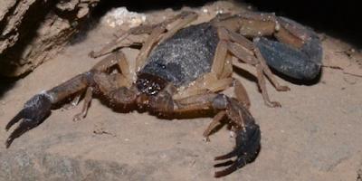 scorpion nicaragua