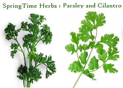 Health Benefits of Spring Time Herbs : Parsley and Cilantro