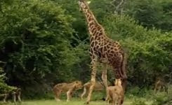 Lions Attacked And Kill Giraffe