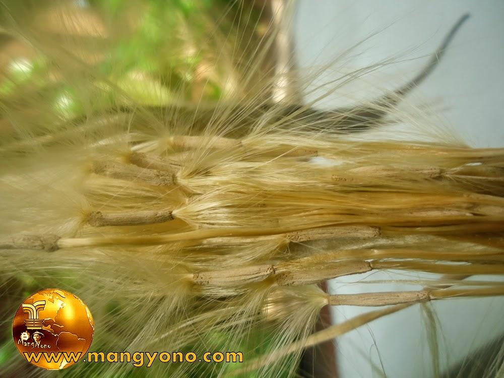 Biji Adenium Obesum / kamboja Jepang