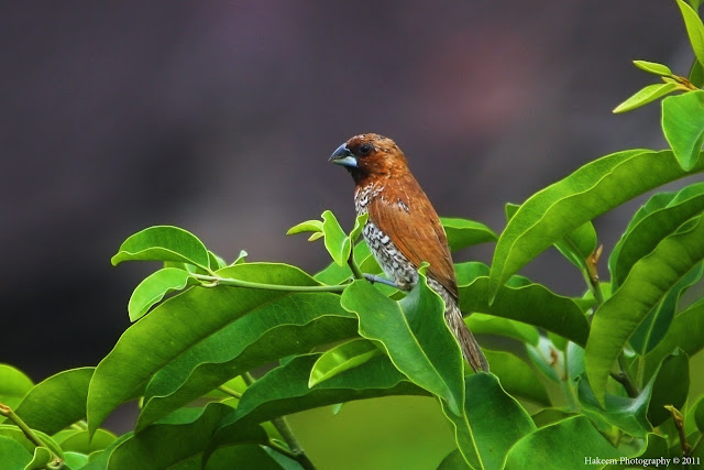 Scaly-breasted Munia (Lonchura punctulata subundulata) - Adult