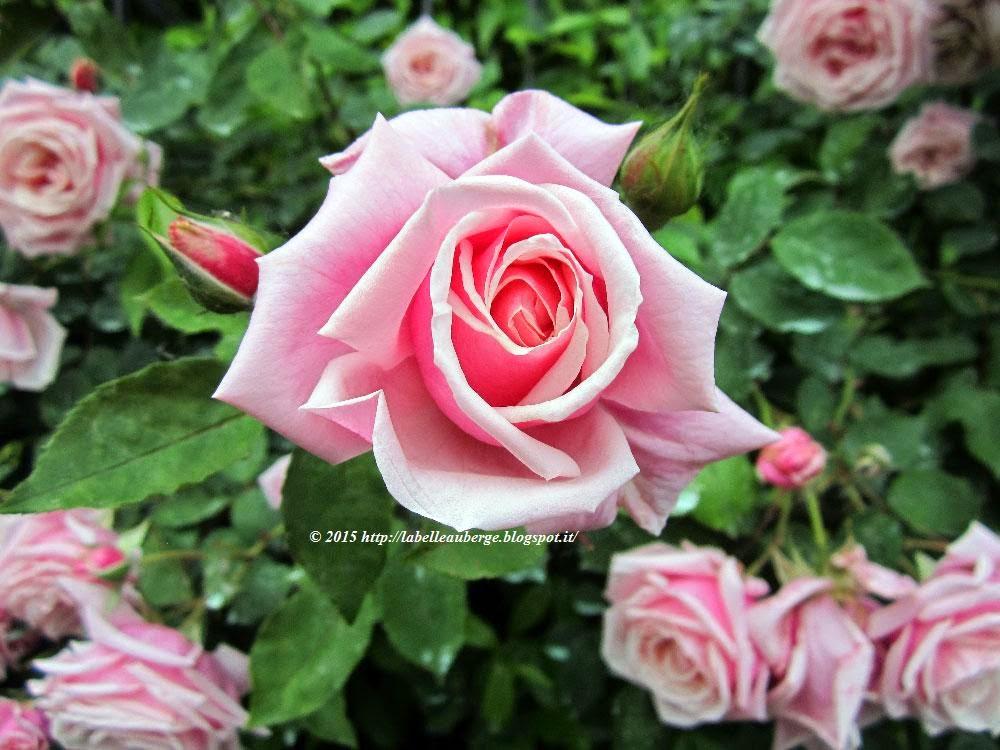La belle auberge la straordinaria fioritura delle rose rosa for Rose color rosa antico