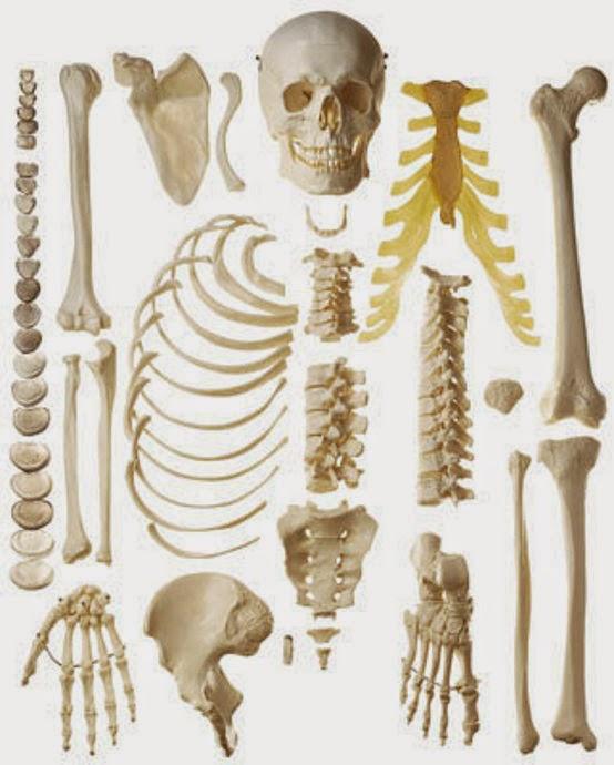 Encantador Esqueleto Humano Detallada Componente - Anatomía de Las ...