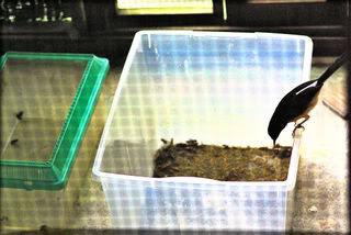 Makan Burung Dan Tips Cara MErawat Burung Murai Batu