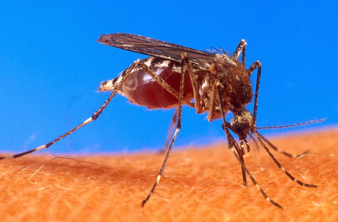 Aedes aegypti, the primary mosquito that spreads dengue fever, is shown biting a human victim. (Credit: USDA) Click to enlarge.