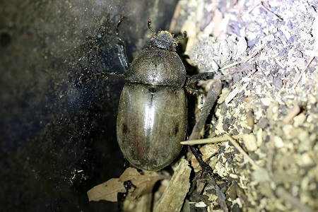 small beetle (female)