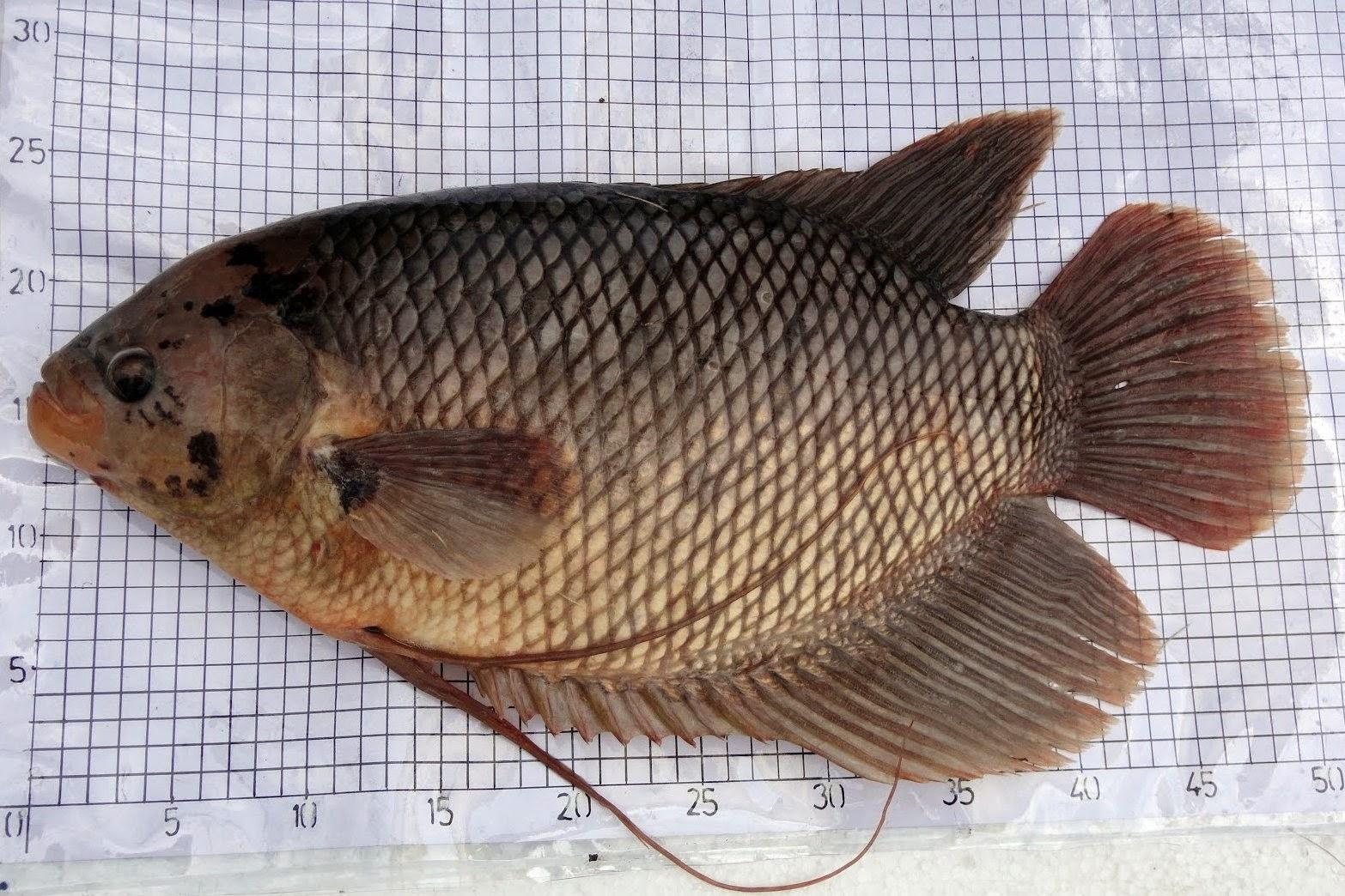 Jenis - Jenis Ikan Gurame