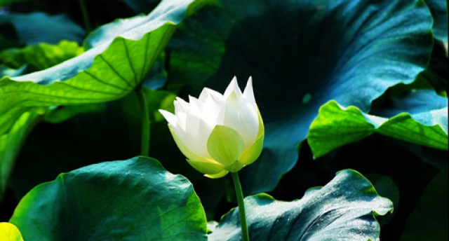 hoa sen trang