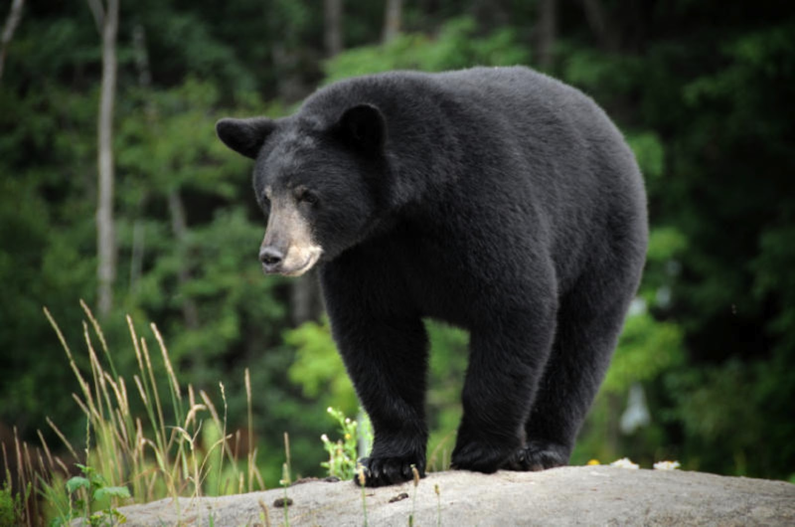 North american forest animals