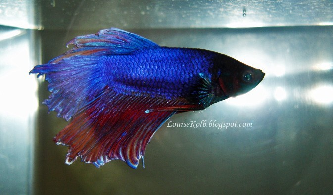 Confessions of a stranger september 2012 for Betta fish life span
