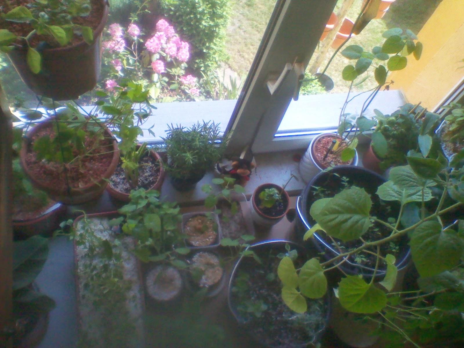 selbstversorgung exotische einheimische pflanzen im zimmer und garten mai 2014. Black Bedroom Furniture Sets. Home Design Ideas