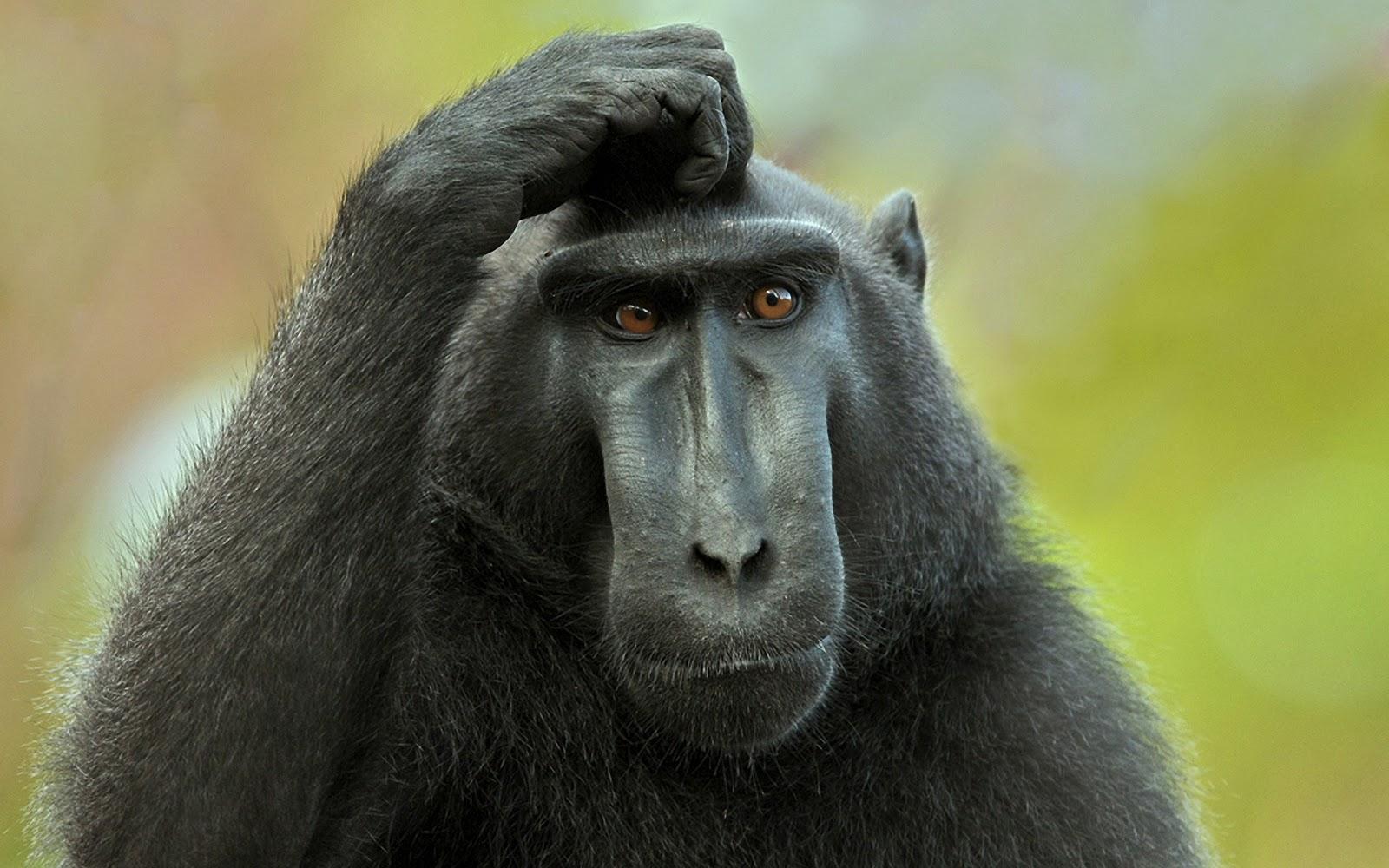 http://3.bp.blogspot.com/-LmSdTGLcwyY/UC_Boknvo5I/AAAAAAAAJtU/ytRZ2bFkG_w/s1600/Monkey+HD+Wallpapers+%281%29.jpg