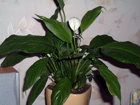 Yesterday today tomorrow top 10 indoor plants - Popular indoor plants ...