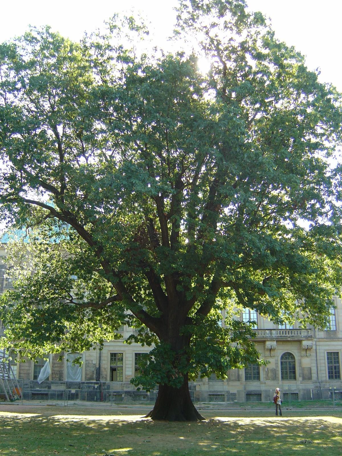 Red Oak Tree ~ Plantwerkz northern red oak quercus borealis