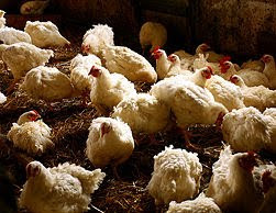 Como criar pollos para negocio