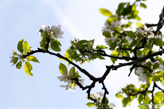 Apple Blossom Flowers against Sky