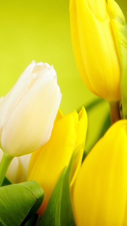Tulips White Yellow Flowers Galaxy Note HD Wallpaper