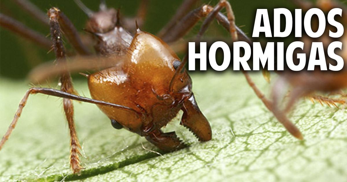 Como eliminar las hormigas del huerto novedosa receta for Hormigas en el jardin