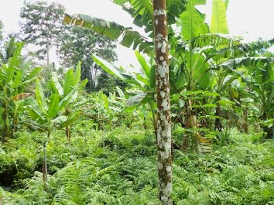 แปลงผักกูดปลูกในสวนกล้วย