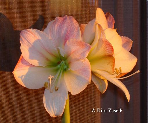 Rita vaselli watercolors fotografare l 39 anima di un fiore for Amaryllis sweet pink