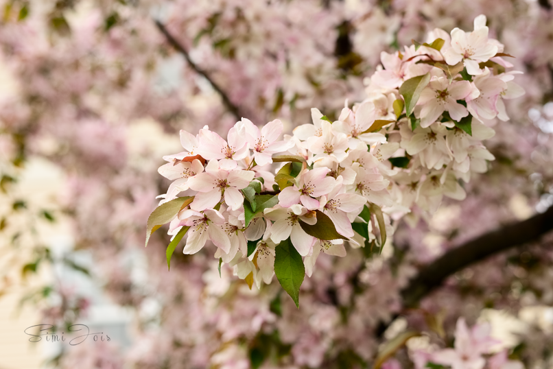 Cherry blossom, Photography, Calendar cover photography, SimiJois