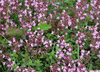 Cimbrisor (Thymus serpyllum)